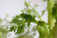 El hinojo, una de las plantas para los gases