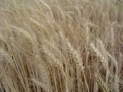 Trigo y otros cereales buenos para el cabello