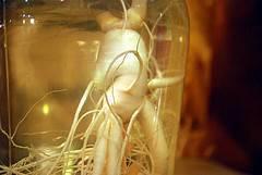 Efectos secundarios de las cápsulas de ginseng