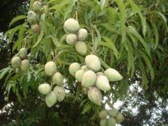 Hojas de mango para recuperar el color del cabello